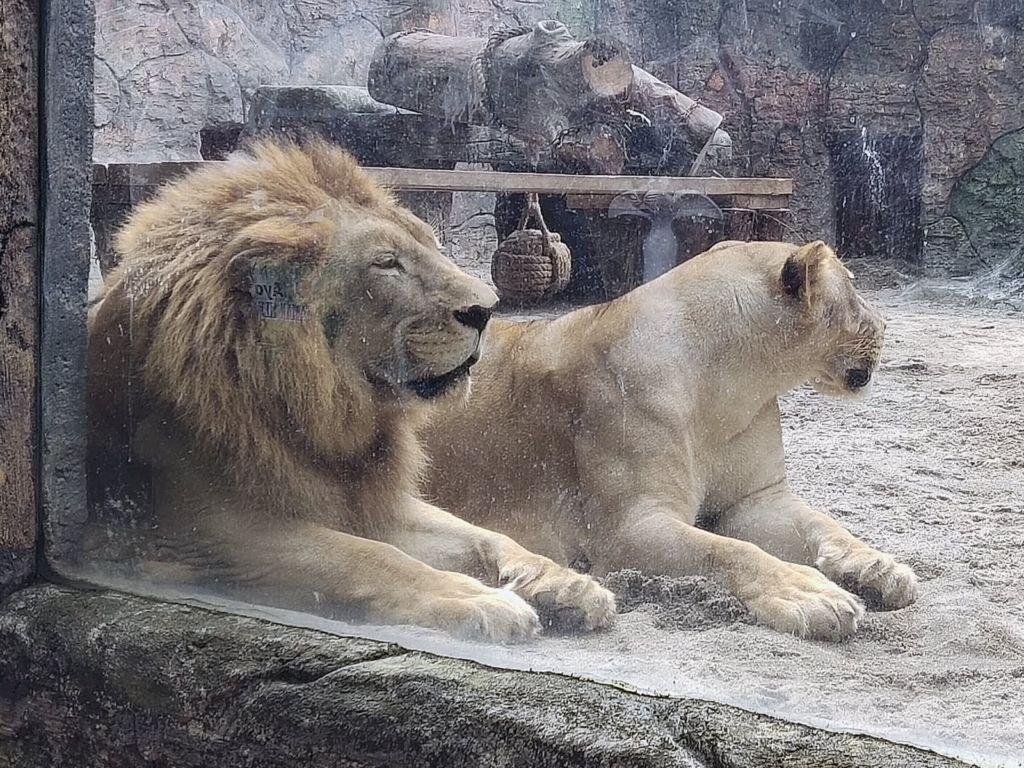 Sepasang singa di Taman Hewan Pematang Siantar