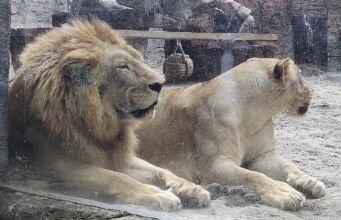 Sepasang singa