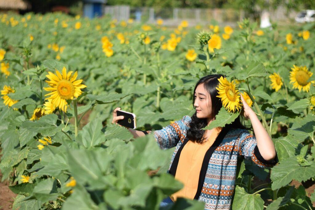 Berfoto diantara Bunga Matahari yang bermekaran di Kebun Bunga Matahari