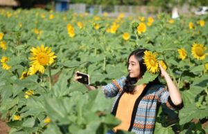 Berfoto diantara Bunga Matahari d Kebun Bunga Matahari Kediri. Foto: Google Maps / onny iman