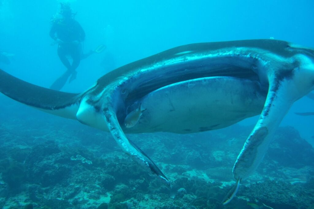 Besarnya Ikan Pari Manta di Manta Point