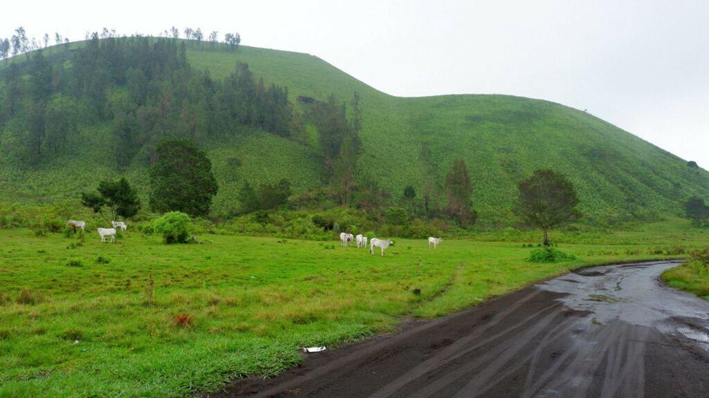hewan ternak di sekitar padang rumput kawah wurung