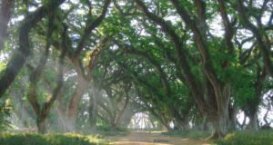 Indahnya suasana Hutan De Djawatan Banyuwangi. Foto : Google Maps / rijaalfa