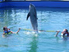 wisatawan sedang bermain bersama lumba-lumba di kolam