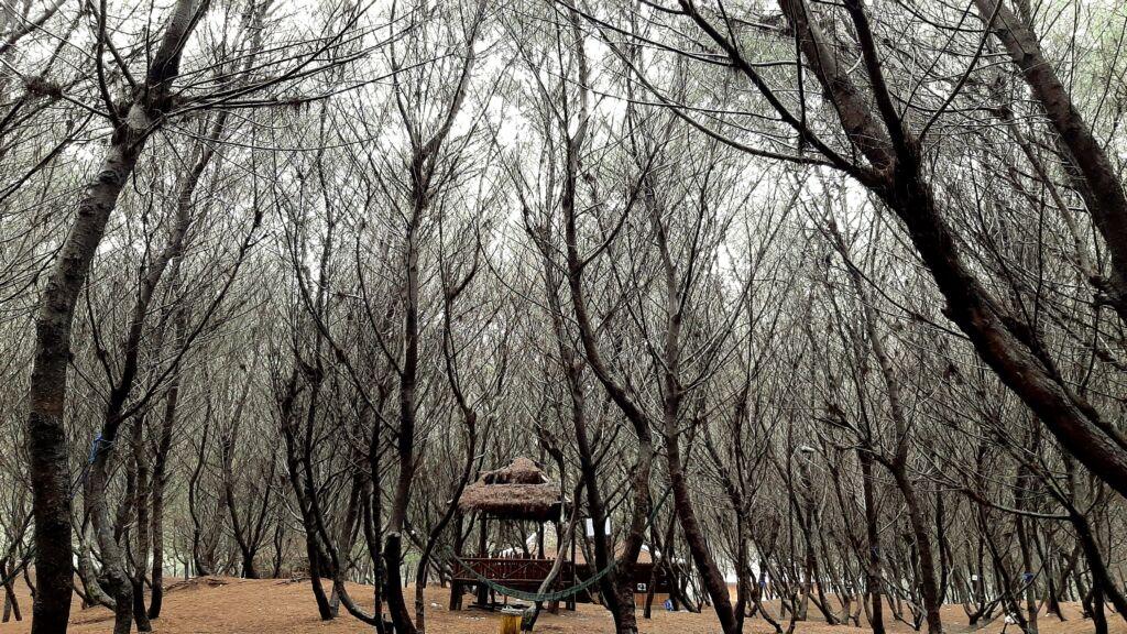 Hutan cemara yang meranggas di pantai cemara sewu
