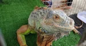 Iguana di Jogja Exotarium