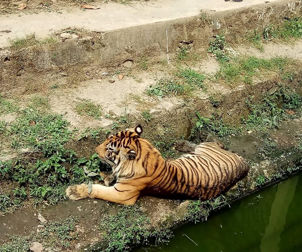 harimau salah satu koleksi kebun binatang TRMS
