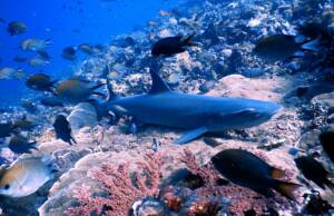 Ikan Hiu Diantara Ikan dan Terumbu Karang