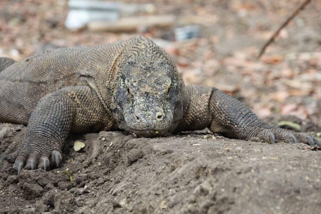 Mengunjungi Komodo di Habitatnya