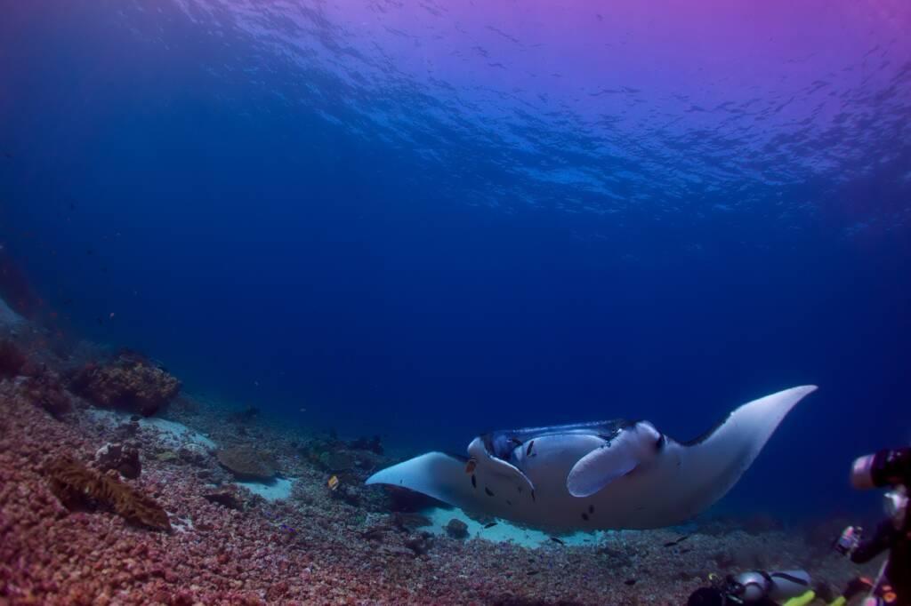 Sensasi Seru Berenang Bersama ikan Pari Manta