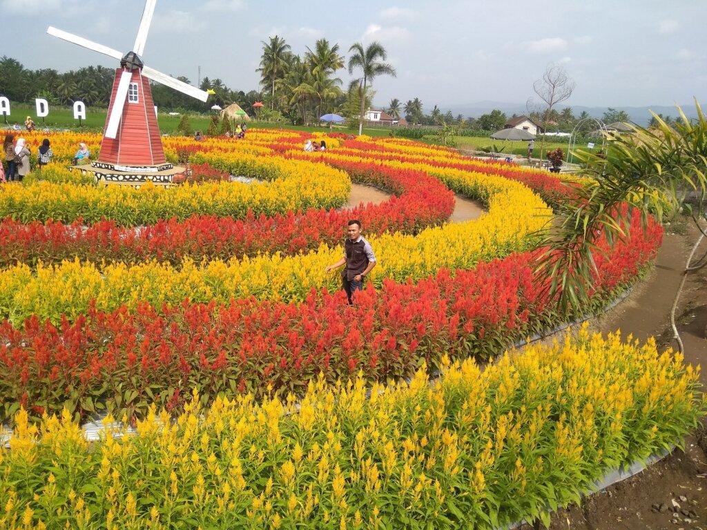 Keindahan Hamparan Bunga Celosia