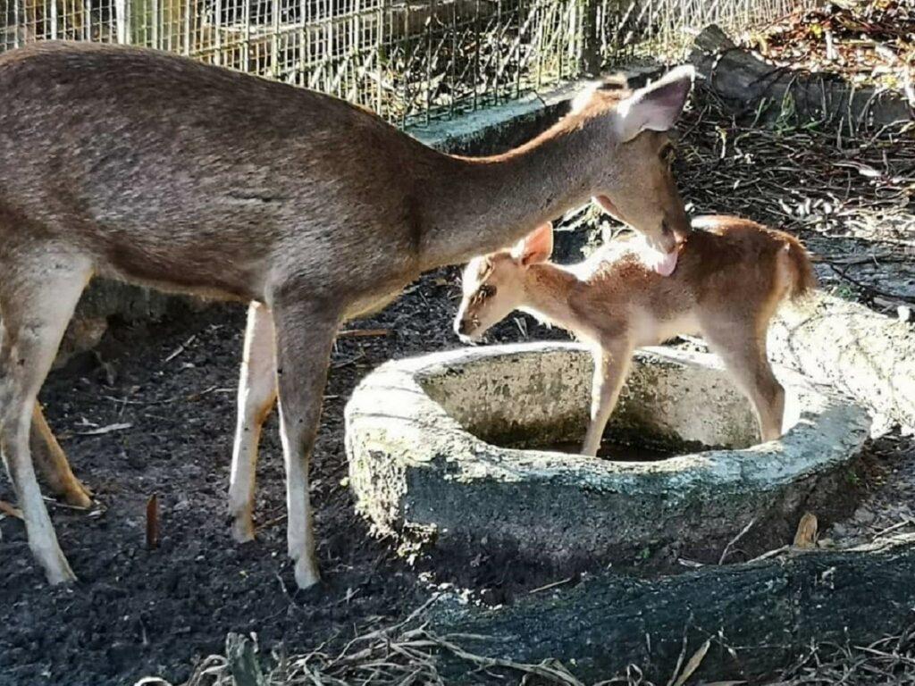 Bayi Rusa Timur lahir di Kebun Binatang Mini Museum Pusaka Nias Gunungsitoli Sumatera Utara - museumpusakanias