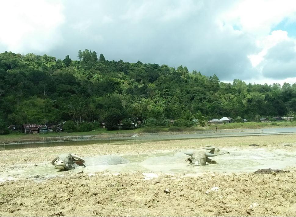 Sapi berkubang di area lumpur