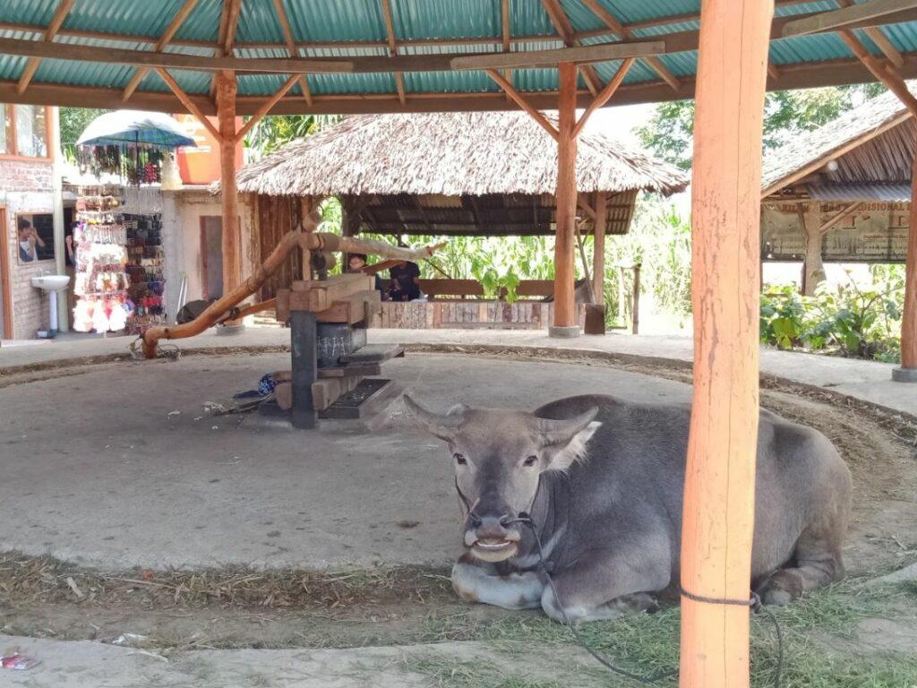 Pabrik tebu tradisional yang masih menggunakan tenaga hewan