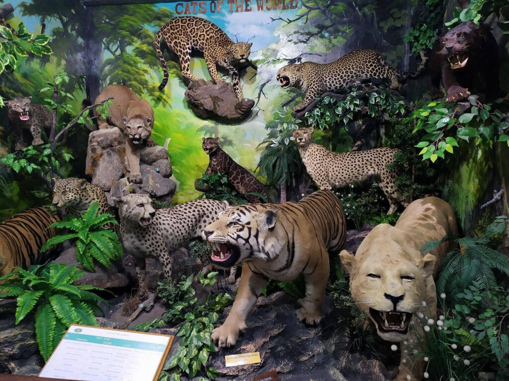 Cats of the World aneka hewam familia Felidae