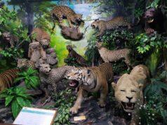 Cats of the World di Rahmat International Wildlife Museum & Gallery Medan Sumatera Utara - Adi Putra