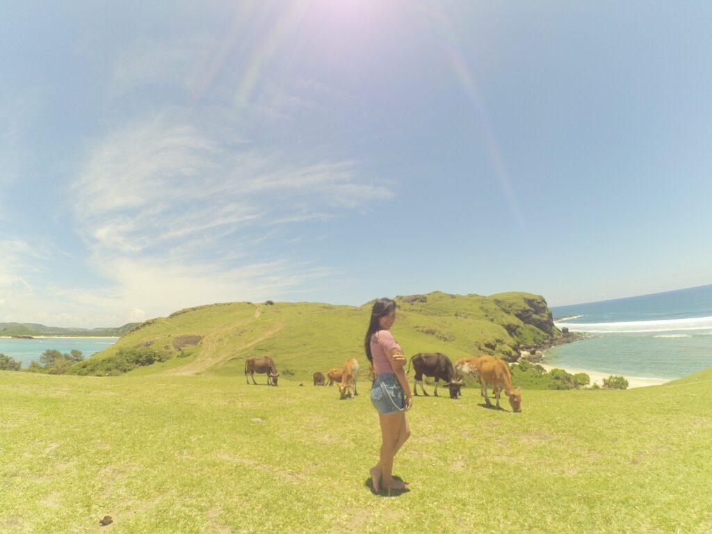 hewan ternak sedang merumput di savana bukit hijau area perbukitan