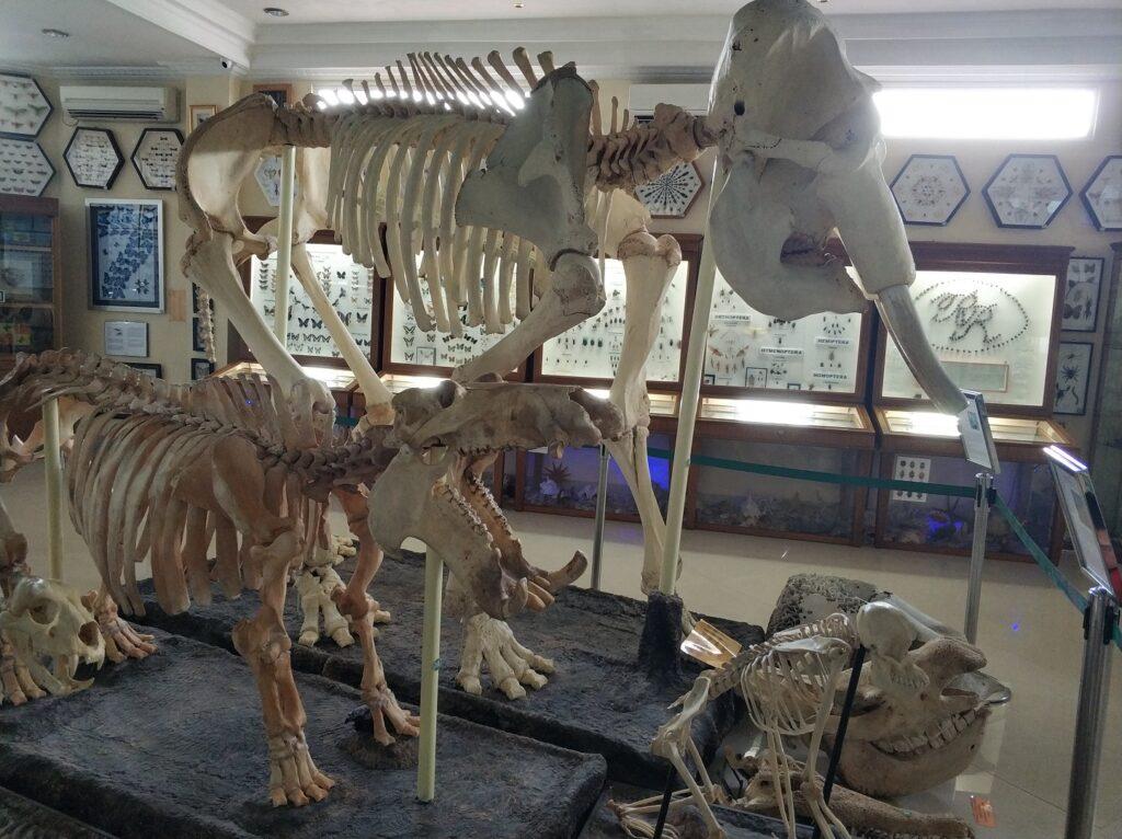 Kerangka satwa asli indonesia di Rahmat International Wildlife Museum & Gallery