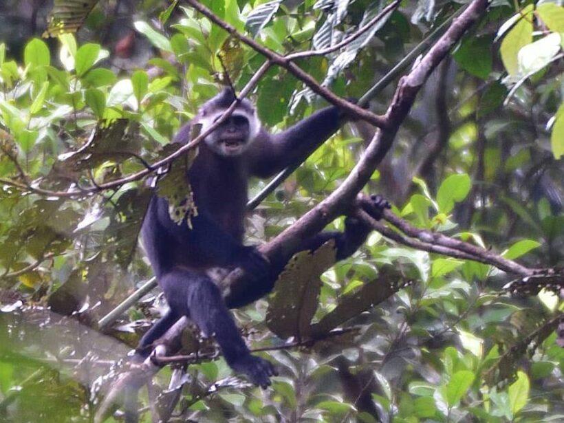 Primata endemik pulau Siberut