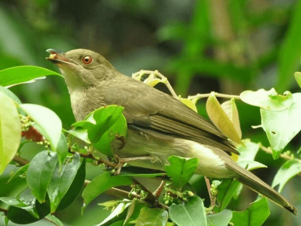 Burung Merbah Corok-corok