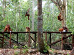 Habitat orangutan di Taman Nasional Tanjung Puting