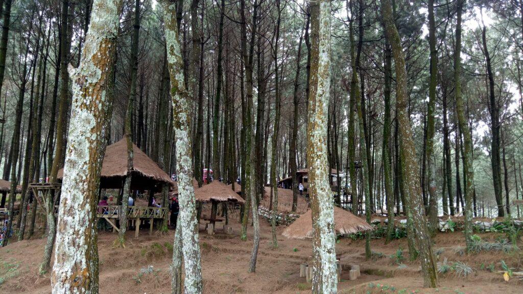 Saung Estetik diantara Pohon Pinus