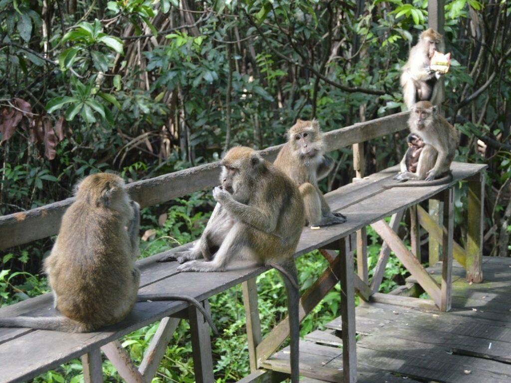 Monyet-monyet jenaka sedang berkeliaran