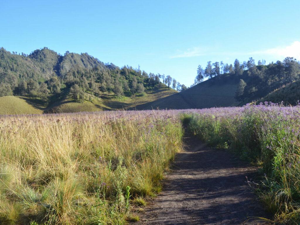 Bunga edelweis yang menghampar di kawasan ranu kumbolo