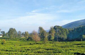 hijaunya perkebunan teh di riung gunung