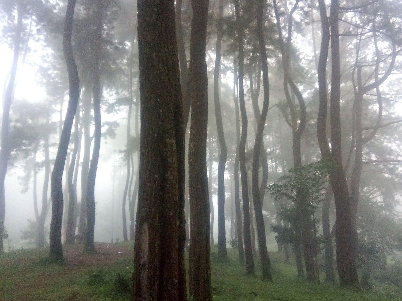 Area hutan pinus sekitar curug ciputri