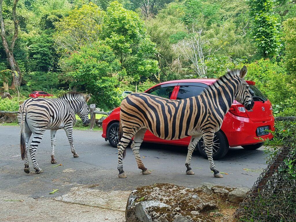 berkeliling taman safari bogor menggunakan mobil