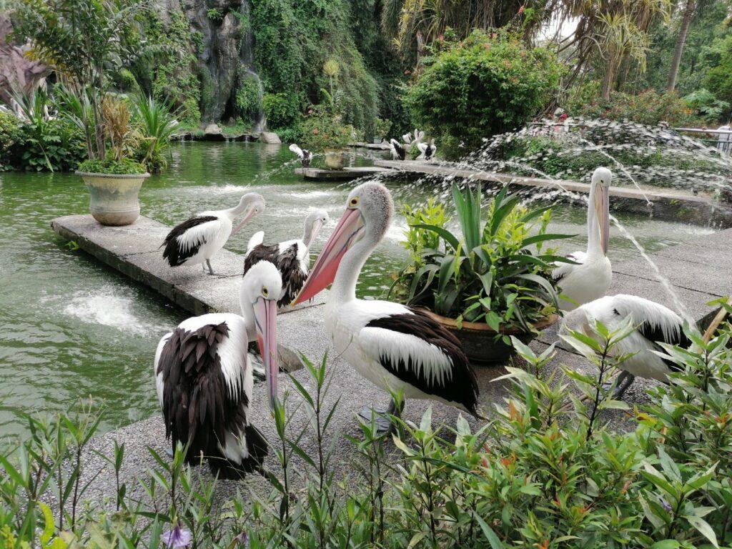 Burung pelikan di Zona Unggas