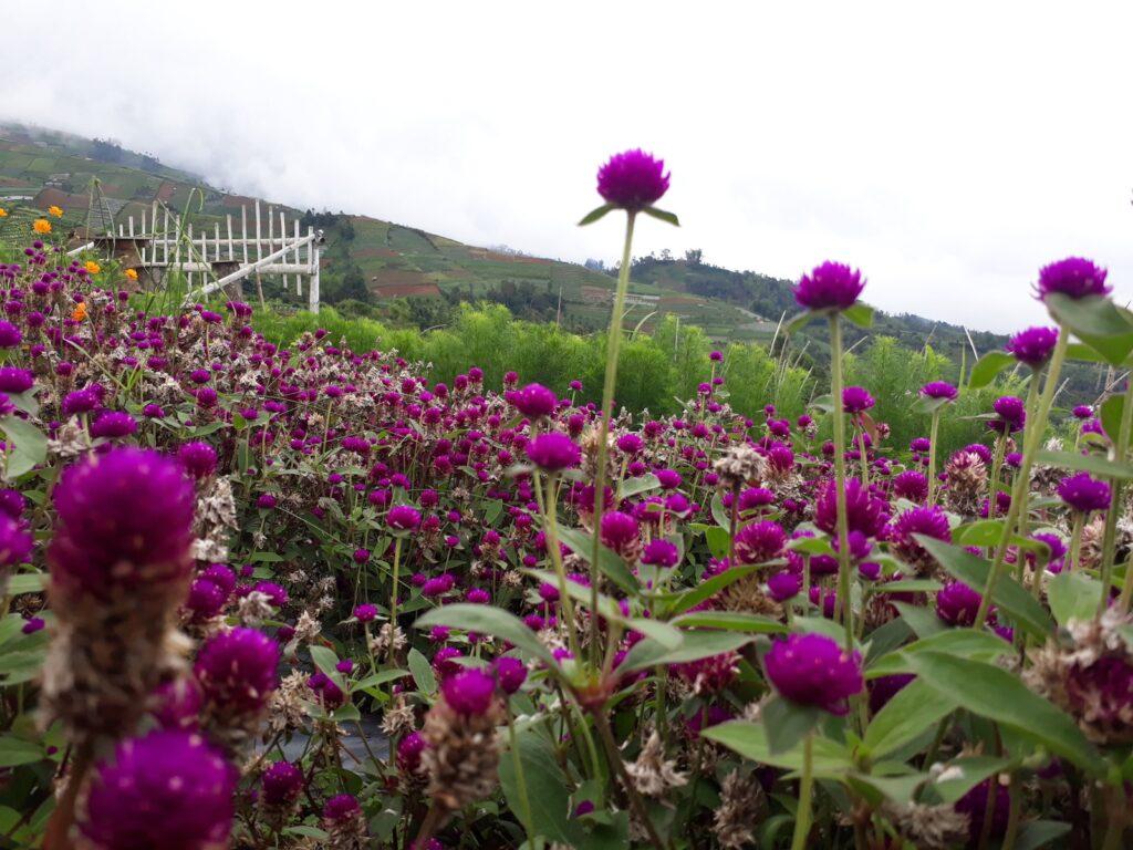 Bunga-bunga indah yang tumbuh di kebun Silancur Highland