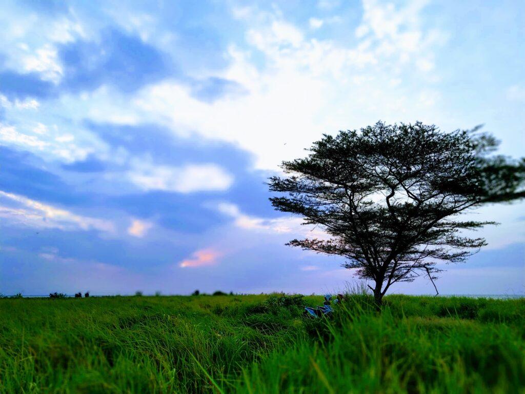 Pohon di tengah sabana yang menjadi ciri khas Pantai Baruna