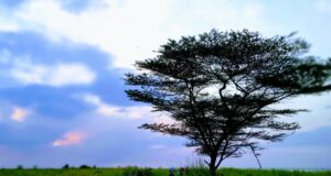 Pohon yang menjadi ciri khas Pantai Baruna