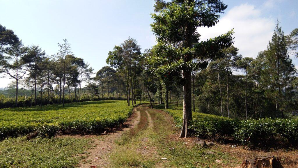 Jalan yang membentang di area kebun teh