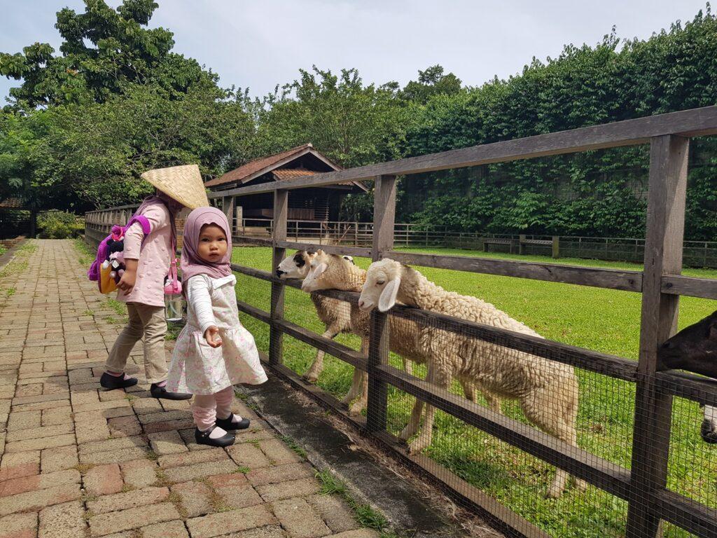 Berinteraksi dengan domba-domba menggemaskan