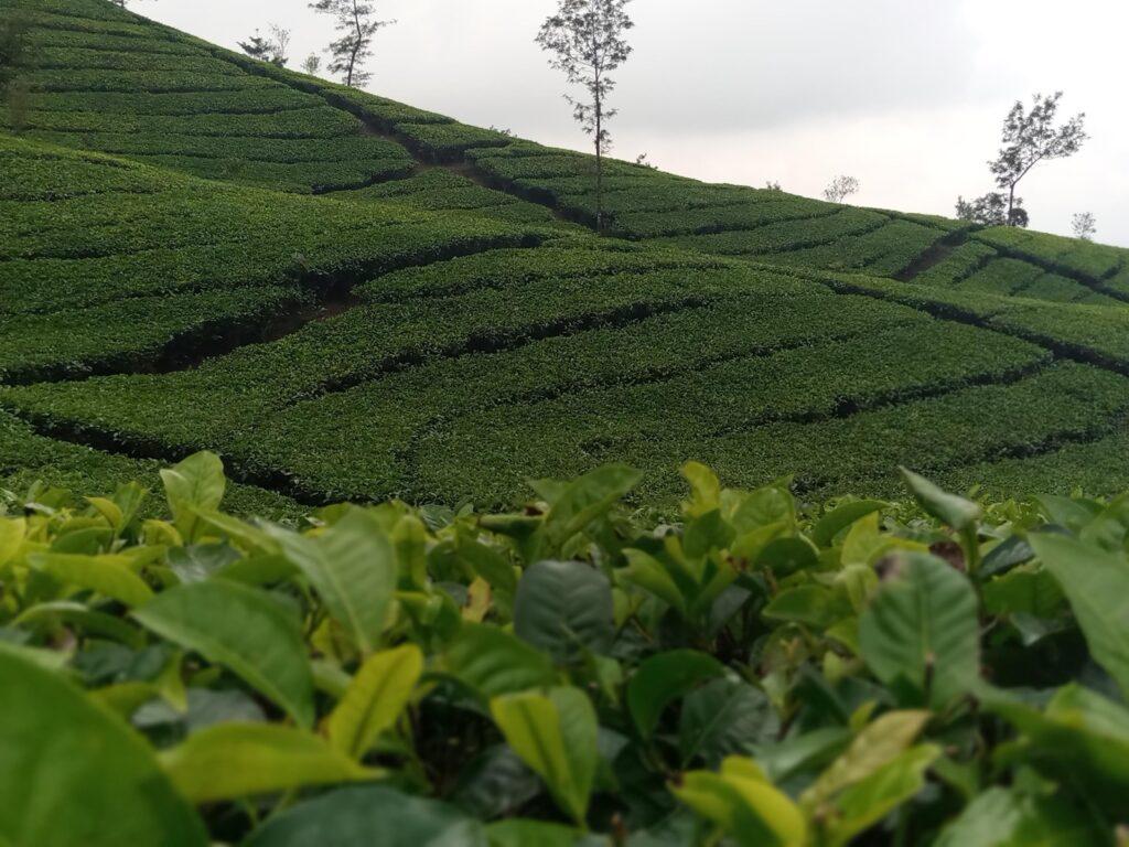 Karpet hijau dari pohon teh yang berbaris rapi