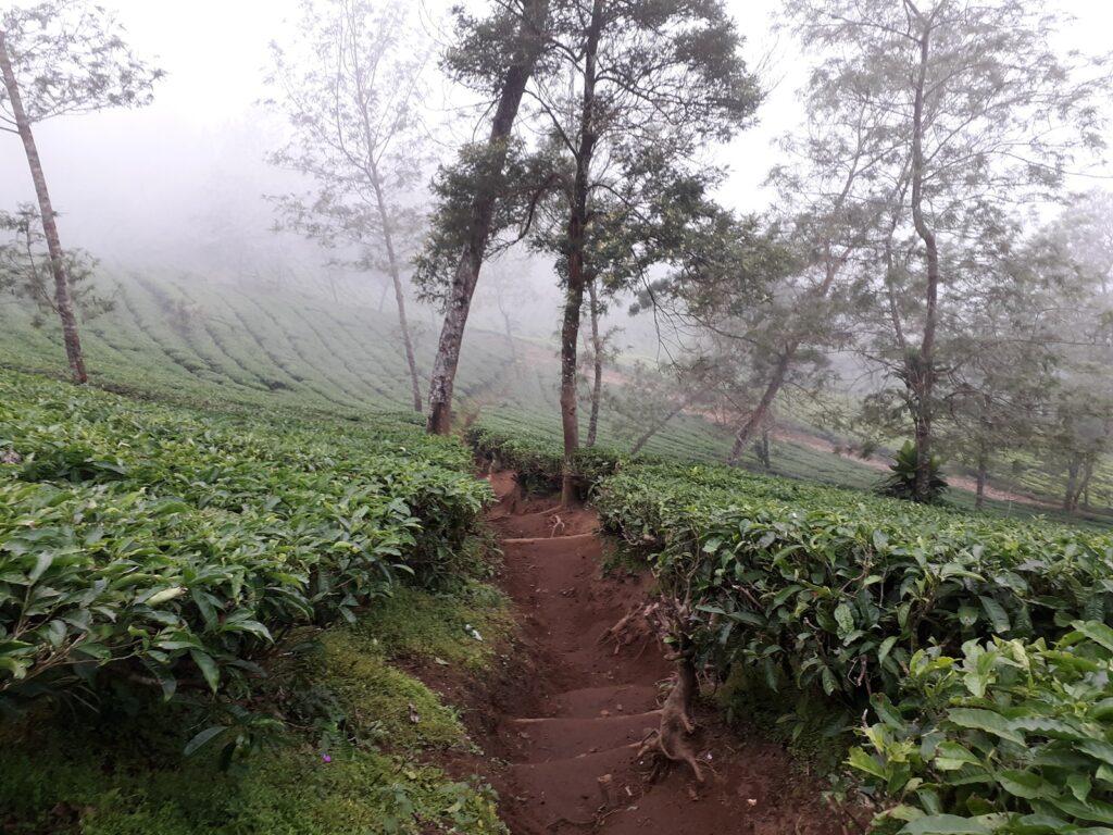 Kabut menyelimuti kawasan kebun teh di kaki Gunung Kembang