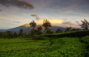 Langit senja di atas Kebun Teh Tambi