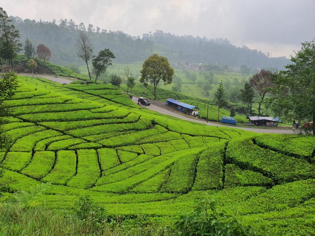 Tempat wisata di Bandung yang menyegarkan datang saja ke Kebun Teh Rancabali