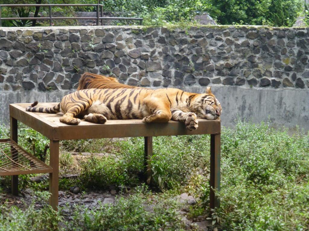 Harimau di Kebun Binatang Bandung