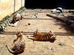 3 ekor harimau di Semarang Zoo