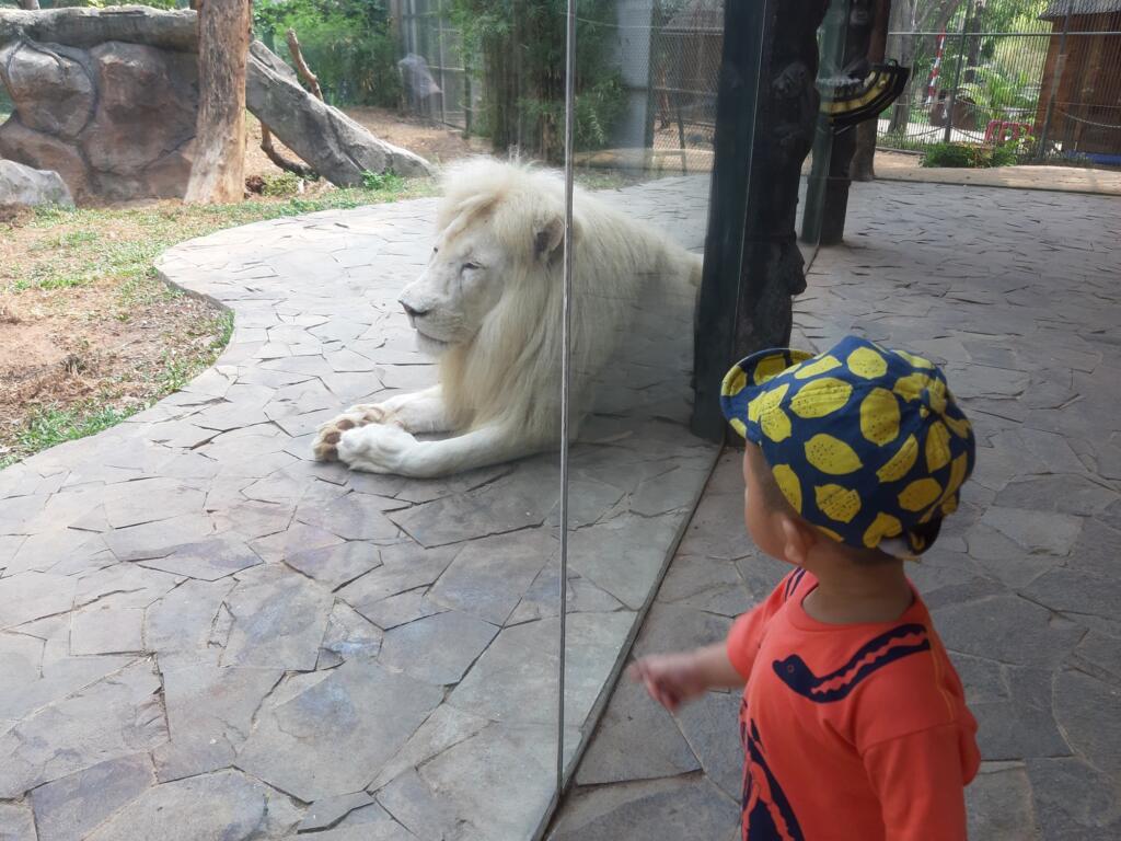 Singa Putih, salah satu penghuni Faunaland Ancol