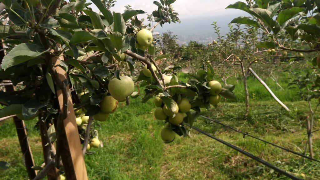 Apel hijau Malang wisata petik apel
