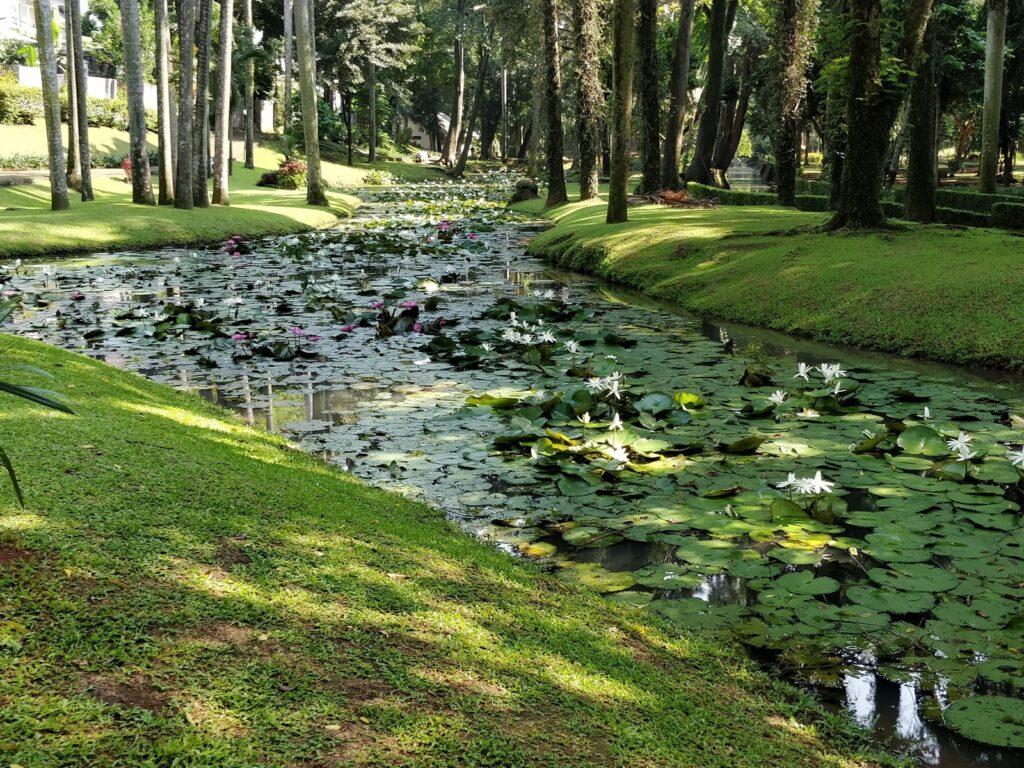 Bunga teratai mekar memenuhi sungai