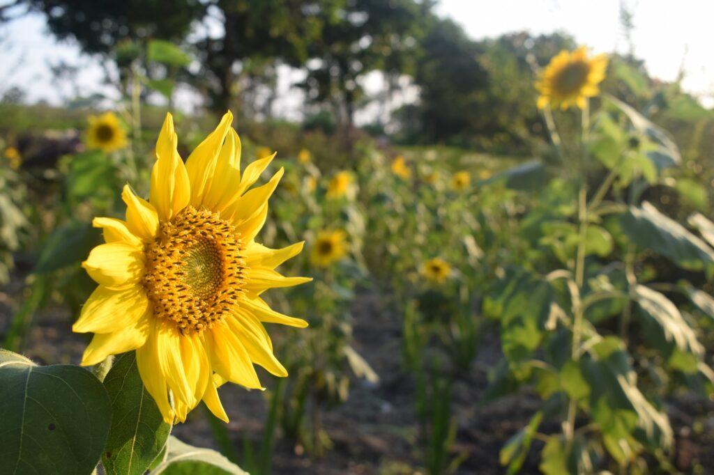 bunga mathari Taman Kilisuci di Taman Agro Margomulyo