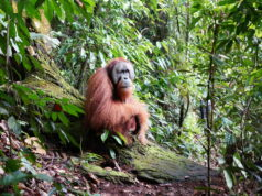 Seekor orangutan tampak duduk santai di tengah hutan