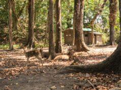 Kawanan rusa di hutan Cagar alam pangandaran
