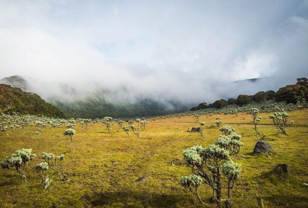 Hamparan edelweiss di Alun-Alun Surya Kencana Gunung Gede Pangrango